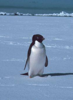 I pinguini di Adélie approffittano dei mutamenti climatici